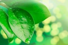 Πτώσεις νερού στα φύλλα Στοκ Εικόνα