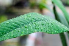 Πράσινο φύλλο με τη σταγόνα βροχής. Σύνθεση φύσης. Στοκ Εικόνες