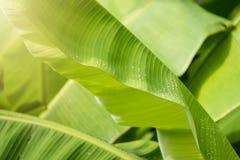 Πτώσεις νερού στο φρέσκο πράσινο υπόβαθρο θαμπάδων φύλλων μπανανών Στοκ Εικόνες