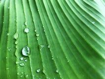 Πτώσεις νερού στο φύλλο μπανανών, φυσικό πράσινο υπόβαθρο Στοκ Φωτογραφία