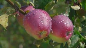 Πτώσεις που στάζουν στα ώριμα μήλα σε έναν κλάδο δέντρων απόθεμα βίντεο