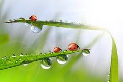 πτώσεις δροσιάς και ladybug Στοκ φωτογραφίες με δικαίωμα ελεύθερης χρήσης