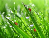 πτώσεις δροσιάς και ladybugs Στοκ φωτογραφία με δικαίωμα ελεύθερης χρήσης