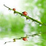 πτώσεις δροσιάς και ladybugs Στοκ Εικόνα