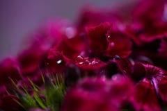 Πτώσεις δροσιάς σε ένα γλυκό λουλούδι του William Στοκ Εικόνα