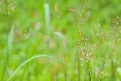 Πτώσεις δροσιάς στη χλόη λουλουδιών Στοκ Φωτογραφία