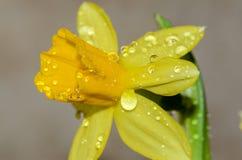 Πτώσεις δροσιάς στους οφθαλμούς λουλουδιών Στοκ εικόνες με δικαίωμα ελεύθερης χρήσης