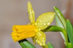 Πτώσεις δροσιάς στους οφθαλμούς λουλουδιών Στοκ Φωτογραφία