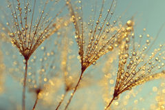 Πτώσεις δροσιάς στους σπόρους πικραλίδων στοκ εικόνες