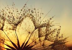 Πτώσεις δροσιάς στους σπόρους πικραλίδων στοκ εικόνα με δικαίωμα ελεύθερης χρήσης