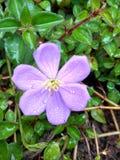 Πτώσεις δροσιάς στο άγριο λουλούδι Στοκ εικόνα με δικαίωμα ελεύθερης χρήσης
