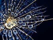Πτώσεις στο μπλε πικραλίδων Στοκ Φωτογραφία