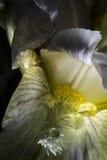 Πτώσεις στο λουλούδι ίριδων Στοκ εικόνες με δικαίωμα ελεύθερης χρήσης