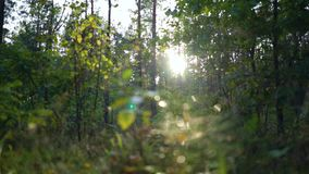 Πτώσεις της δροσιάς που στάζει από τα φύλλα Το πρωί ή το βράδυ, η ανατολή ή το ηλιοβασίλεμα στις άγριες δασικές ακτίνες ήλιων ` s απόθεμα βίντεο