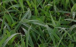 Πτώσεις της δροσιάς πρωινού στην πράσινη χλόη Στοκ Εικόνες