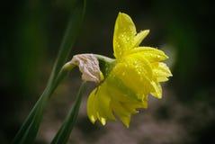 Πτώσεις της δροσιάς σε έναν πολύβλαστο, κίτρινες, daffodil λουλούδι Στοκ φωτογραφίες με δικαίωμα ελεύθερης χρήσης