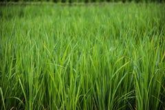 Πτώσεις της δροσιάς σε ένα ρύζι ορυζώνα σε πράσινο Στοκ Εικόνες