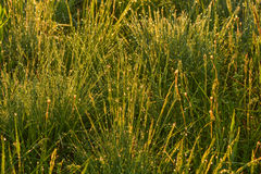 Πτώσεις της δροσιάς στη χλόη πρωινού στον ήλιο ρύθμισης Στοκ Εικόνες