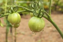 Πτώσεις του νερού μετά από τη βροχή στα φρούτα ντοματών Unripe πράσινη ντομάτα στους θάμνους Ωριμάζοντας λαχανικά σε έναν εγχώριο Στοκ φωτογραφίες με δικαίωμα ελεύθερης χρήσης