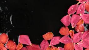 Πτώσεις του νερού που αφορούν τα ροδαλά πέταλα που επιπλέουν στο νερό Όμορφη ανασκόπηση απόθεμα βίντεο