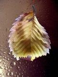 Πτώσεις του νερού στα φύλλα φυτών μετά από τη βροχή Στοκ Εικόνες