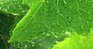Πτώσεις του νερού στο φρέσκο πράσινο φύλλο στον κήπο απόθεμα βίντεο