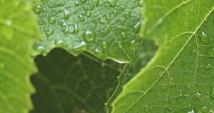Πτώσεις του νερού στο φρέσκο πράσινο φύλλο στον οπωρώνα απόθεμα βίντεο
