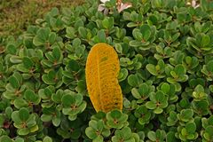 Πτώσεις φύλλων Plumeria στο πράσινο υπόβαθρο Στοκ Εικόνες
