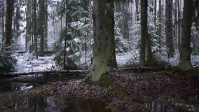 Πτώσεις χιονιού στο δάσος με τα δέντρα Το έντονο χιόνι καλύπτει αμέσως την επιφάνεια των κλάδων δασών και δέντρων απόθεμα βίντεο
