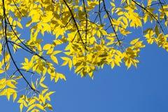 Πτώση: Αναδρομικά φωτισμένα κίτρινα φύλλα λευκών στο μπλε ουρανό Στοκ Εικόνες