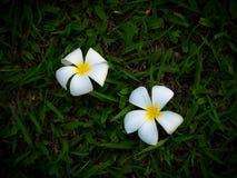 Πτώση δύο άσπρη λουλουδιών plumeria στο χορτοτάπητα, πράσινο υπόβαθρο χλόης Στοκ Φωτογραφίες