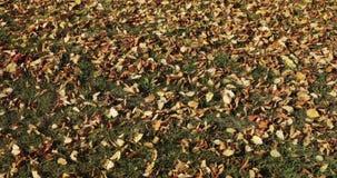 Πτώση και ήλιος φύλλων φθινοπώρου που λάμπουν μέσω των φύλλων πτώσης όμορφο τοπίο ανασκόπησης απόθεμα βίντεο