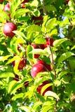 πτώση μήλων στοκ φωτογραφίες