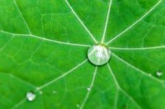 Πτώση νερού πράσινο Nasturtium Στοκ Εικόνες