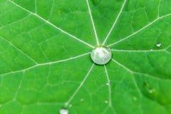 Πτώση νερού πράσινο Nasturtium Στοκ Φωτογραφίες
