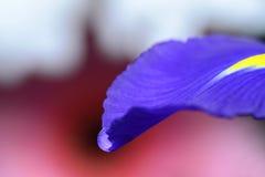 Πτώση νερού σε ένα πέταλο λουλουδιών viola Στοκ εικόνες με δικαίωμα ελεύθερης χρήσης