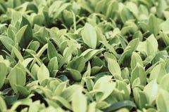 Πτώση νερού στα μεγάλα πράσινα φύλλα, σκούρο πράσινο υπόβαθρο άδειας, πράσινο φύλλο στο σκοτεινό υπόβαθρο, σκοτεινό φύλλωμα φύσης στοκ φωτογραφία με δικαίωμα ελεύθερης χρήσης