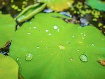 Πτώση νερού στο φύλλο Lotus, φύλλο Lotus στη λίμνη νερού στοκ φωτογραφία με δικαίωμα ελεύθερης χρήσης