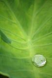 Πτώση νερού στο φύλλο caladium Στοκ Εικόνα