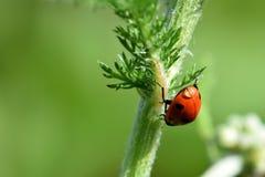 Πτώση 02 νερού Ladybug Στοκ εικόνες με δικαίωμα ελεύθερης χρήσης