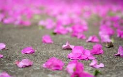 Πτώση λουλουδιών Bougainvillea στο σκυρόδεμα Στοκ Φωτογραφία