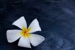 Πτώση λουλουδιών Frangipani στο πάτωμα τσιμέντου Στοκ Φωτογραφίες