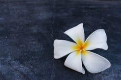 Πτώση λουλουδιών Frangipani στο πάτωμα τσιμέντου στοκ φωτογραφία