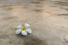 Πτώση λουλουδιών Frangipani στο πάτωμα τσιμέντου στοκ εικόνα
