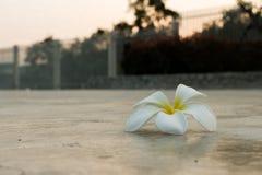 Πτώση λουλουδιών Frangipani στο πάτωμα τσιμέντου Στοκ Εικόνες