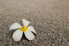 Πτώση λουλουδιών Frangipani στο πάτωμα τσιμέντου Στοκ φωτογραφία με δικαίωμα ελεύθερης χρήσης