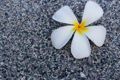 Πτώση λουλουδιών Frangipani στο πάτωμα τσιμέντου Στοκ εικόνες με δικαίωμα ελεύθερης χρήσης