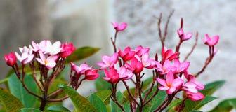 Πτώση λουλουδιών Plumeria κάτω στο φύλλο τους Στοκ εικόνες με δικαίωμα ελεύθερης χρήσης