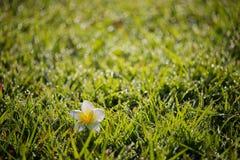 Πτώση λουλουδιών plumeria κινηματογραφήσεων σε πρώτο πλάνο στον τομέα χλόης Στοκ Εικόνα