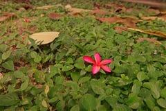 Πτώση λουλουδιών Plumeria στο έδαφος, φύση γύρω από τον κήπο Στοκ εικόνες με δικαίωμα ελεύθερης χρήσης